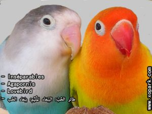 Inséparables - Agapornis - Lovebird