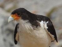 0Caracara-à-gorge-blanche—Phalcoboenus-albogularis—White-throated-Caracara