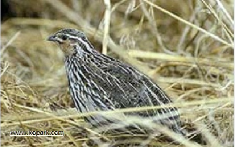 1-Caille-des-chaumes—Coturnix-pectoralis—Stubble-Quail