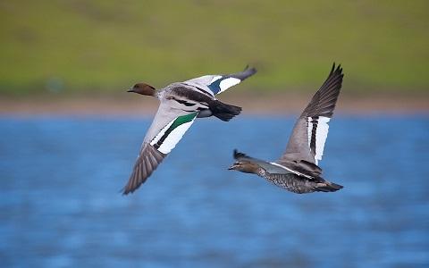 1000Canard-à-crinière—Chenonetta-jubata—Maned-Duck