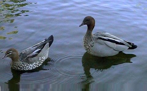 100Canard-à-crinière—Chenonetta-jubata—Maned-Duck