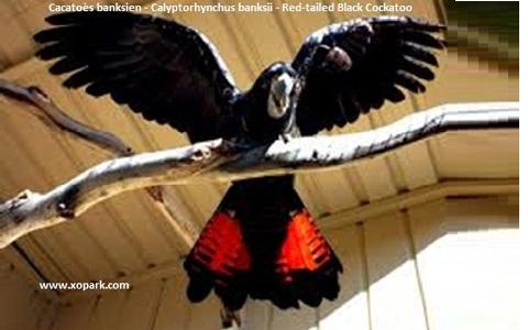 10Cacatoès-banksien—Calyptorhynchus-banksii—Red-tailed-Black-Cockatoo