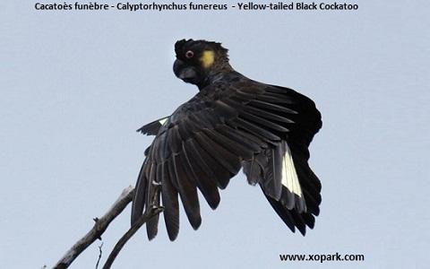 Cacatoès funèbre Calyptorhynchus funereus Yellow-tailed Black Cockatoo