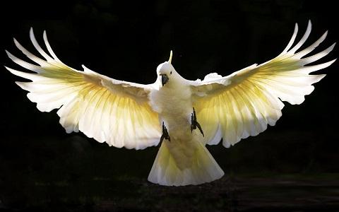10Cacatoès-soufré—Cacatua-sulphurea—Yellow-crested-Cockatoo