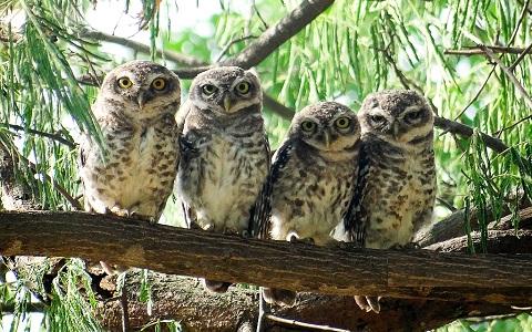 10Chevêche-brame—Athene-brama—Spotted-Owlet