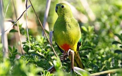10Perruche-à-ventre-orange—Neophema-chrysogaster—Orange-bellied-Parrot