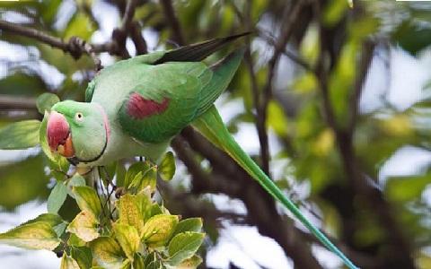 10Perruche-alexandre—Psittacula-eupatria—Alexandrine-Parakeet