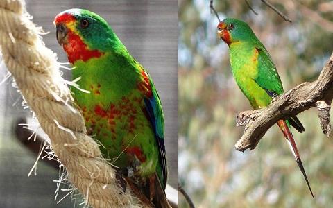 10Perruche-de-Latham—Lathamus-discolor—Swift-Parrot