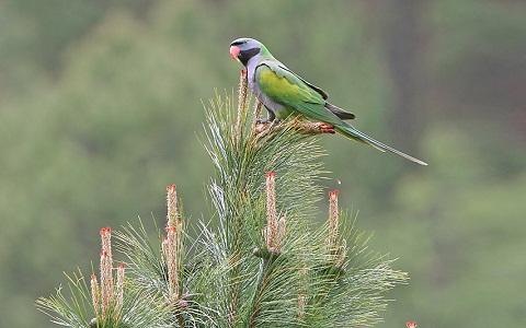 10Perruche-de-derby—Psittacula-derbiana—Lord-Derby_s-Parakeet