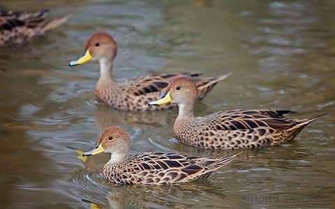 11Canard-à-queue-pointue—Anas-georgica—Yellow-billed-Pintail