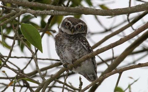 11Chevêche-brame—Athene-brama—Spotted-Owlet