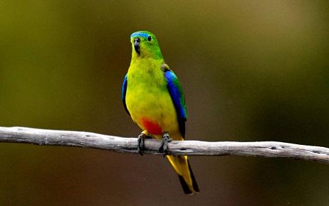 11Perruche-à-ventre-orange—Neophema-chrysogaster—Orange-bellied-Parrot