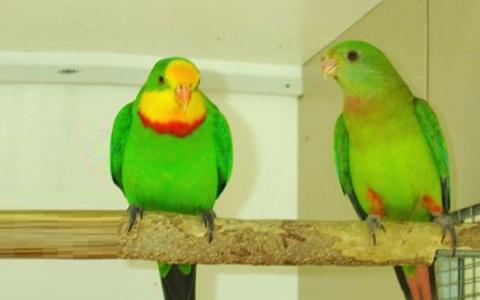 11Perruche-de-Barraband—Polytelis-swainsonii—Superb-Parrot