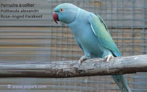 11perruche-à-collier-Jaune—Psittacula-alexandri—Red-breasted-Parakeet