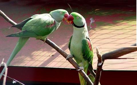 12Perruche-alexandre—Psittacula-eupatria—Alexandrine-Parakeet
