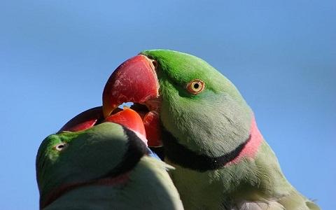13Perruche-alexandre—Psittacula-eupatria—Alexandrine-Parakeet
