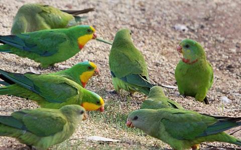 13Perruche-de-Barraband—Polytelis-swainsonii—Superb-Parrot