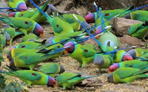 13Perruche-tête-de-prune—Psittacula-cyanocephala—Plum-headed-Parakeet