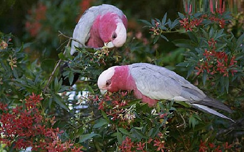 14Cacatoès-rosalbin—Eolophus-roseicapilla—Galah