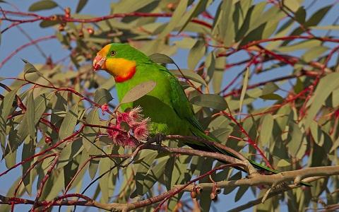 14Perruche-de-Barraband—Polytelis-swainsonii—Superb-Parrot