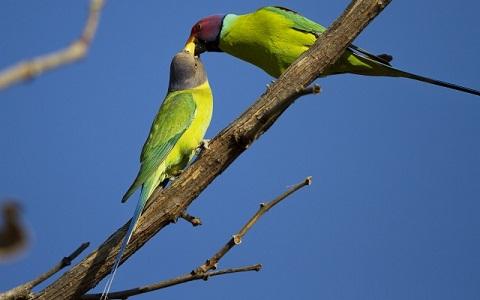 14Perruche-tête-de-prune—Psittacula-cyanocephala—Plum-headed-Parakeet