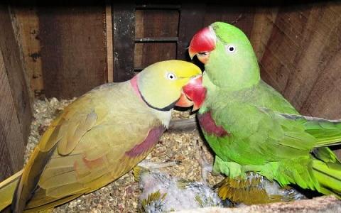 15Perruche-alexandre—Psittacula-eupatria—Alexandrine-Parakeet