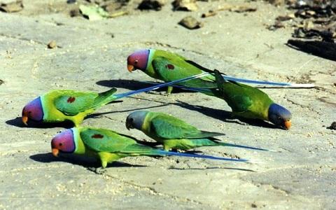 15Perruche-tête-de-prune—Psittacula-cyanocephala—Plum-headed-Parakeet