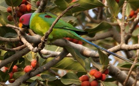 16Perruche-tête-de-prune—Psittacula-cyanocephala—Plum-headed-Parakeet