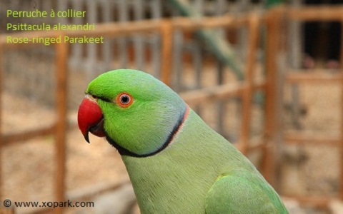 16perruche-à-collier—Psittacula-alexandri—Red-breasted-Parakeet