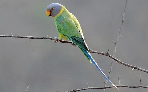 17Perruche-tête-de-prune—Psittacula-cyanocephala—Plum-headed-Parakeet