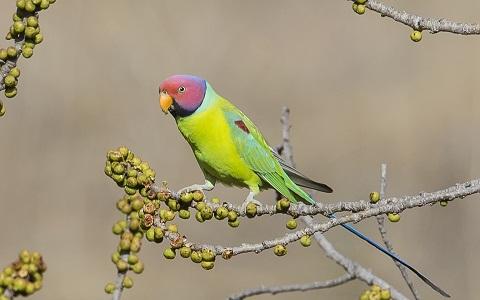 18Perruche-tête-de-prune—Psittacula-cyanocephala—Plum-headed-Parakeet