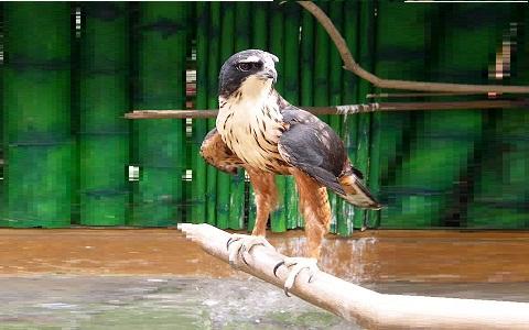 1Aigle-à-ventre-roux—Lophotriorchis-kienerii—Rufous-bellied-Hawk-Eagle
