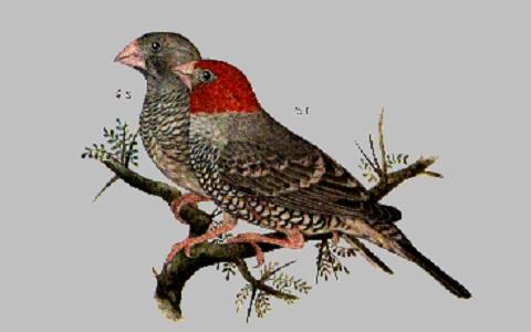 1Amadine-à-tête-rouge—Amadina-erythrocephala—Red-headed-Finch
