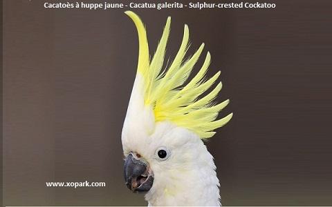 1Cacatoès-à-huppe-jaune—Cacatua-galerita—Sulphur-crested-Cockatoo