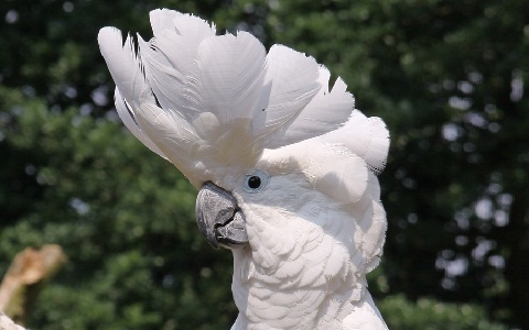 1Cacatoès-blanc—Cacatua-alba—White-Cockatoo