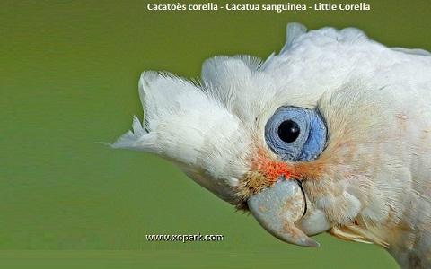 1Cacatoès-corella—Cacatua-sanguinea—Little-Corella
