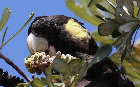 1Cacatoès-funèbre—Calyptorhynchus-funereus—Yellow-tailed-Black-Cockatoo
