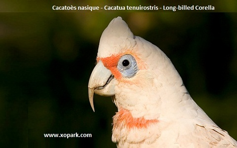 1Cacatoès-nasique—Cacatua-tenuirostris—Long-billed-Corella