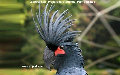 1Cacatoès-noir—Probosciger-aterrimus—Palm-Cockatoo