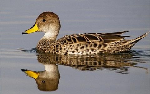 1Canard-à-queue-pointue—Anas-georgica—Yellow-billed-Pintail