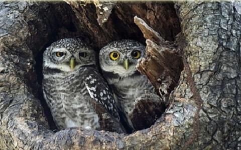 1Chevêche-brame—Athene-brama—Spotted-Owlet