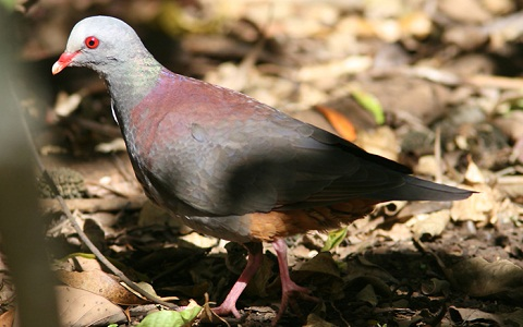 1Colombe-à-calotte-grise—Leptotila-plumbeiceps—Grey-headed-Dove