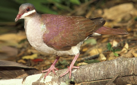 1Colombe-à-joues-blanches—Geotrygon-chrysia —Key-West-Quail-Dove