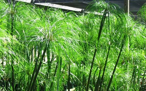 1Papyrus-Cyperus-papyrus