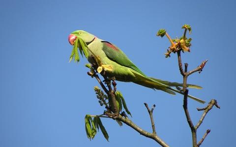 1Perruche-alexandre—Psittacula-eupatria—Alexandrine-Parakeet