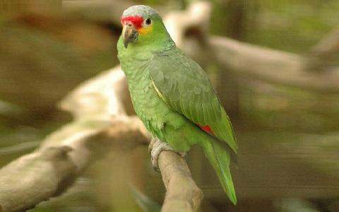 1Perruche-de-Buru—Tanygnathus-gramineus—Black-lored-Parrot