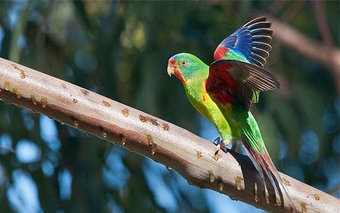 1Perruche-de-Latham—Lathamus-discolor—Swift-Parrot