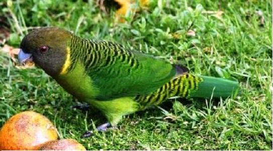 1Perruche-de-Madarasz—Psittacella-madaraszi—Madarasz_s-Tiger-Parrot