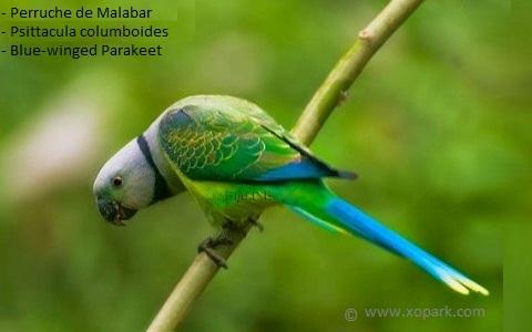 1Perruche-de-Malabar—Psittacula-columboides—Blue-winged-Parakeet