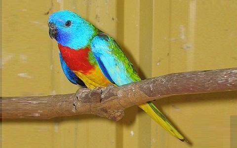 1Perruche-splendide—Neophema-splendida—Scarlet-chested-Parrot